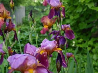 Beautiful flowers irises in the green garden