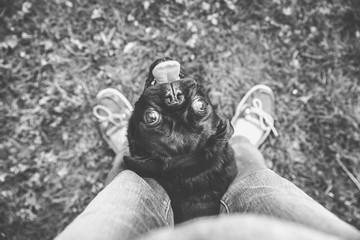 Pet Pug Puppy Dog