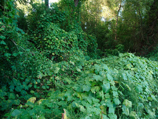 Kudzu, an invasive Japanese vine growing near the Mississippi river in Baton Rouge, Louisiana, USA