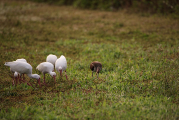 Flock of American white ibis Eudocimus albus forages for food with one juvenile