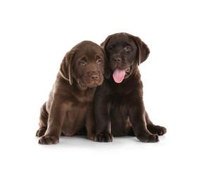 Poster Chien Chocolate Labrador Retriever puppies on white background