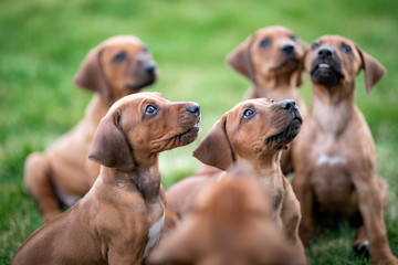 Rhodesian ridgeback puppies sitting on green grass waiting for treats