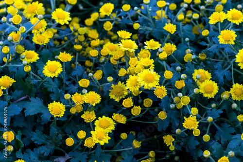 Beliebt Bevorzugt Chrysanthemum indicum Linn Yellow flowers background &HL_17