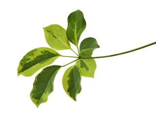 """Schefflera variegated foliage """"Gold Capella"""", Exotic tropical leaf, isolated on white background with clipping path"""