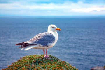 france; brittany,belle-île-en-mer  island  :   seagull