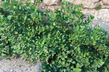 Wild plants grow on the rocks.  Background texture of green space