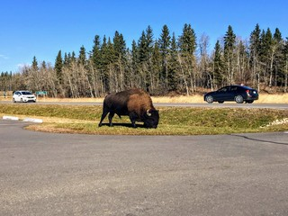 A large male bison grazing by the parking lot as Astotin Lake, in Elk Island National Park, outside Edmonton, Alberta, Canada.  People in their cars take pictures as they drive by.
