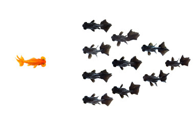 One goldfish confront group of small black goldfish isolated on white background represents courage or the idea of inspiring business ideas. Business concept. Animal. Pet.