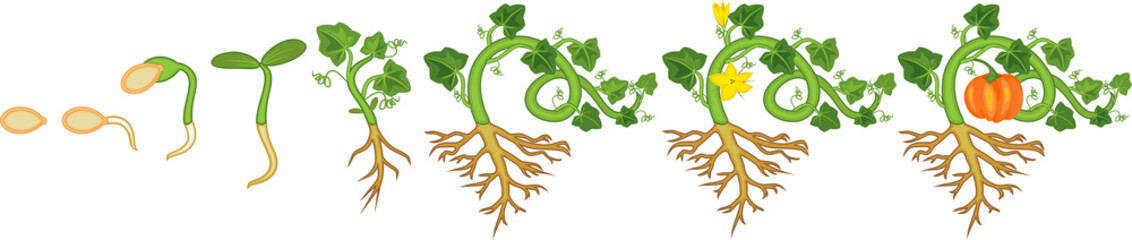 Life cycle of pumpkin plant. Growth stages from seeding to flowering and fruit-bearing pumpkin plant with root system