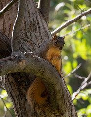 Red Squirrel Perched on a Tree Limb Looking Down