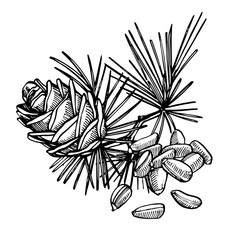 Pine nuts and cedar cone hand drawn illustration.