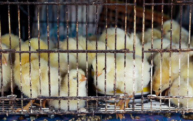 Innocence chicks in the cage