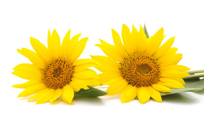 Two yellow sunflowers.
