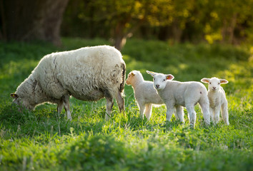 Foto op Aluminium Schapen cute little lambs with sheep on fresh green meadow during sunrise