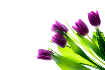 Bouquet of beautiful purple (violet) tulips isolated on white with backlight.