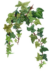Watercolor botanical ivy illustration. Hand painted green ivy, white background.