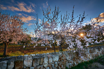 Sunrise in Mallorcan countryside with rising sun and almond trees.