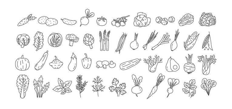 Bundle of vegetables, cultivated root crops, salads, spicy herbs drawn with contour lines on white background. Set of natural design elements. Monochrome vector illustration in line art style.