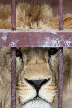 A lion in a zoo cage dreams of freedom. Closeup portrait of a lion