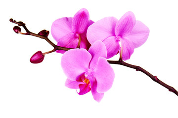 Tuinposter Orchidee Orchids flowers on banch isolated on white.