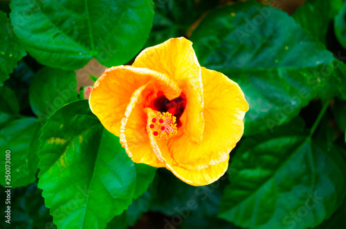 A Yellow Hibiscus Flowers And Its Green Leaves Taking Closeup
