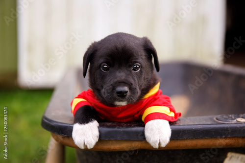 New Border Collie Lab Puppies outside in a Red and Gold