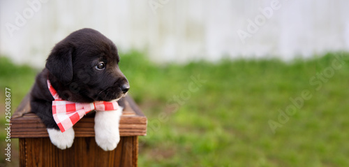 New Border Collie Lab Puppy outside in a Red and White
