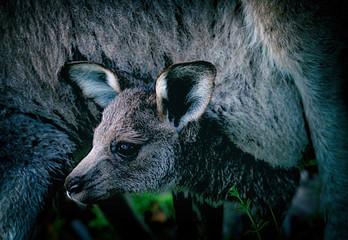 little kangaroo II , australia