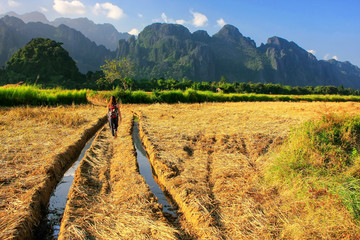 Harvested rice field surrounded by rock formations in Vang Vieng, Laos