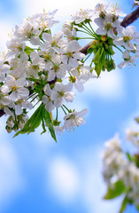 Close up on white cherry blossoms. Spring background.