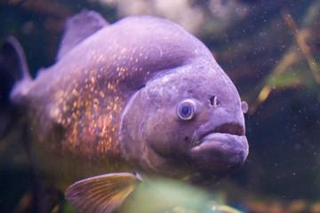 Lighted Piranha