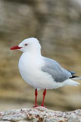 Red-billed gull on the coast of Kaikoura peninsula, South Island, New Zealand