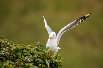 Red-billed gull sitting in a tree, Kaikoura peninsula, South Island, New Zealand