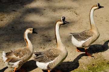 View of domesticated chinese gooses family on the farm