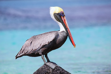 Brown pelican sitting on a rock at Suarez point, Espanola Island, Galapagos National park, Ecuador