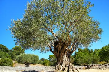Old olive tree growing near Pont du Gard, southern France.