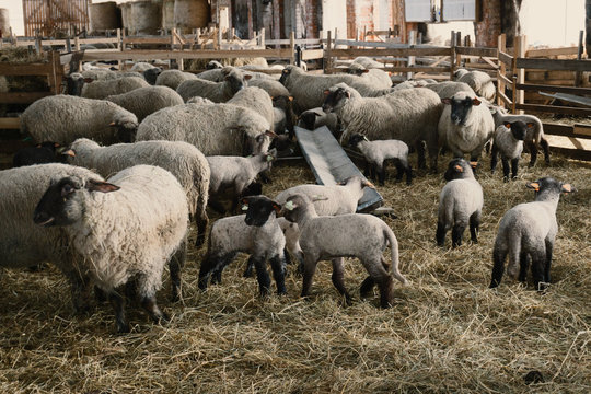 Small sheep shed full of baby sheeps