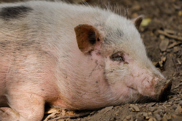 Portrait of sleeping black-white pig breed Vietnamese Pot-bellied