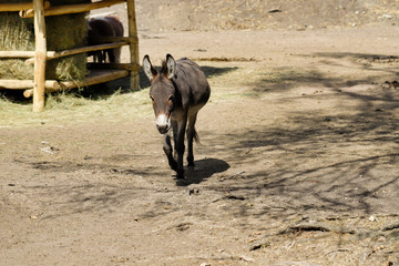 Full body of domestic brown donkey on the farm