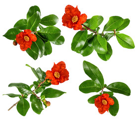 Fresh pomegranate leaves and flowers isolated on white background with clipping path
