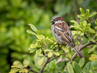 A male house sparrow sitting in a green bush