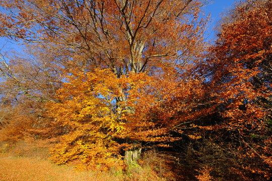 Baum im goldenen Herbst, Andechs, Bayern
