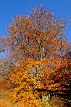 Eiche im Herbst, Andechs, Bayern, hochkant