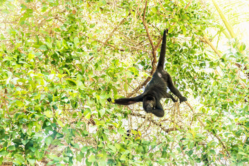 Photo sur Plexiglas Singe Howler monkey eating in sunlightened trees, El Remate, Peten, Guatemala