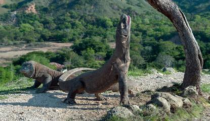 The Komodo dragon raised the head and opened a mouth. Biggest living lizard in the world. Scientific name: Varanus komodoensis. Natural habitat, Island Rinca. Indonesia.