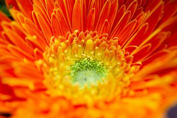 close up orange chrysanthemum flower soft focus.