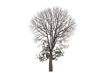 Deciduous tree isolated on white background.