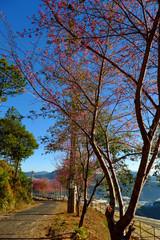 Da Lat, Viet Nam in spring,  row of cherry blossom tree on street