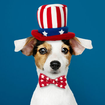 Cute Jack Russell Terrier in Uncle Sam hat and bow tie