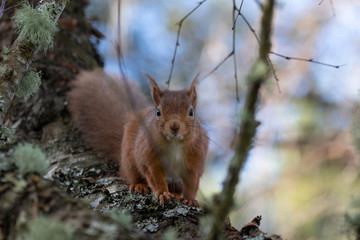 Red squirrel, Sciurus vulgaris, on a birch branch during winter in Scotland looking towards camera.